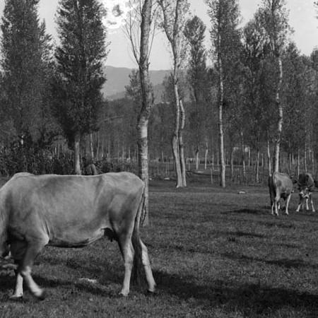 Mucche al pascolo con contadina 1906